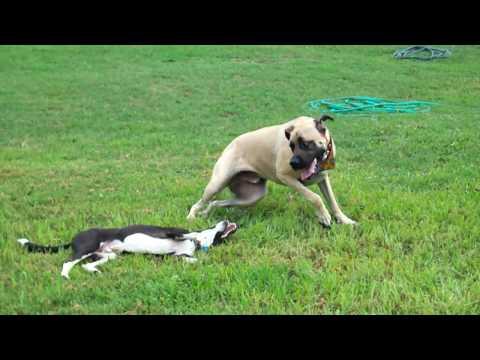 Italian Greyhound Border Collie Mix