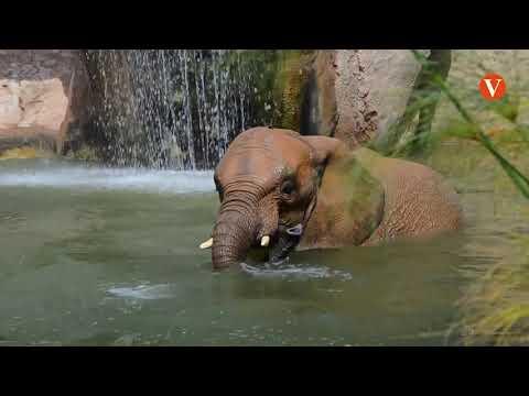 Bioparc celebra amb diversitat d'activitats el Dia Mundia de l'Elefant