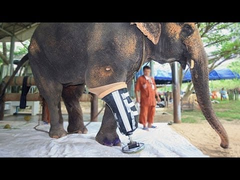 ELEPHANT GETS ARTIFICIAL LEG