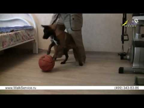 Собак как приучить щенка к поводку