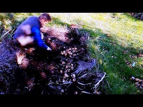 картофель под сеном сравнение урожайности 5ти сортов
