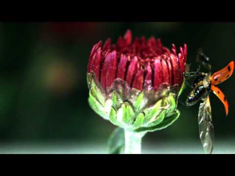 LadyBug (ladyBird) in slow motion and narrated