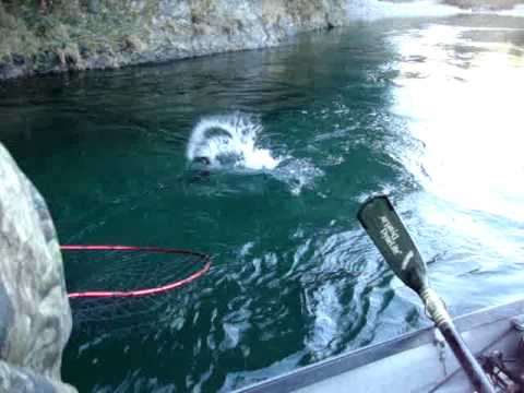 Oregon Clear Water Salmon Fishing. How NOT To Net A Fish!