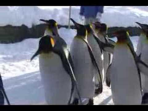 旭山動物園 ペンギンのお散歩 どアップ編