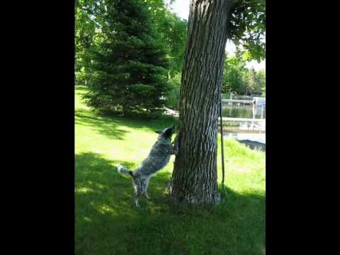 "Hogan The Blue Heeler Getting the ""Squirrel;"" AKA Killing the Tree"