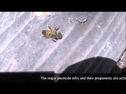 Death of A Honey Bee--Neonicotinoid Pesticides Probable Cause
