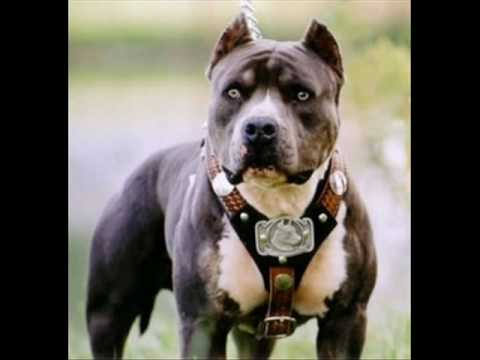 love 4 pitbull´s and tattoos