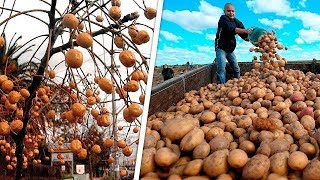 10 محاصيل لن تصدق كيف يتم زراعتها و جنى ثمارها ..