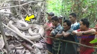 Video Viral King Kobra Tak Berpindah Selama 4 Tahun di Kalteng, Tak Menyerang Meski Ramai Warga