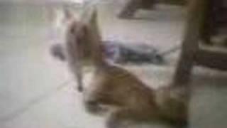 My Pervert Dog Padua Sex Horn