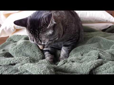 Feline Observational  - LXX -Tacy Cat Kneading Her Favorite Blanket