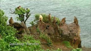 Bầy khỉ hoang dã trên hòn đảo Caribê - HD Thuyết minh tiếng việt