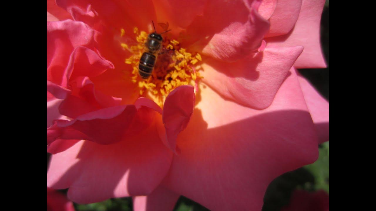Fotos de rosas rojas y blancas de jardin photos of red - Fotos de flores de jardin ...