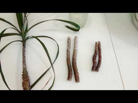 Размножение драцены деремской в домашних условиях