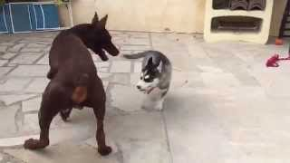 Siberian husky playing with dobermann / Husky siberiano jugando con dobermann