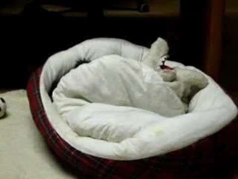 Queeny Scottish Terrier Pillow Talk 2