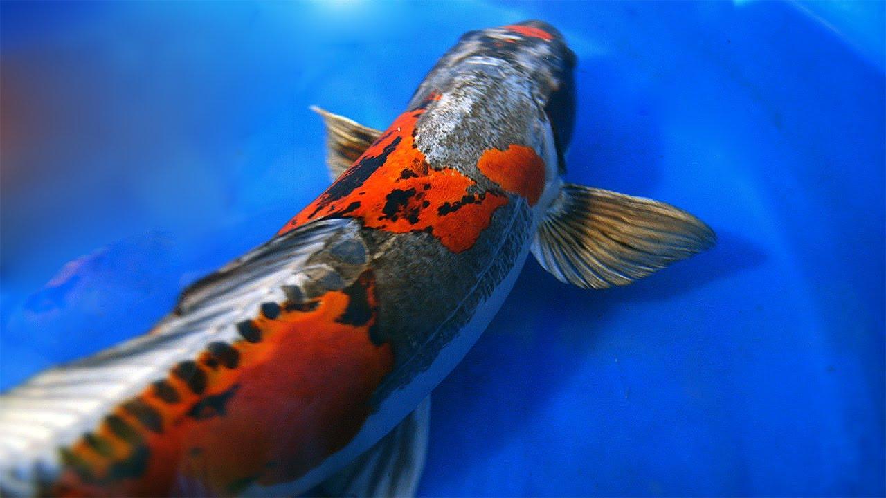 Dragon koi fish ki kokuryu koi youtube for Real koi fish