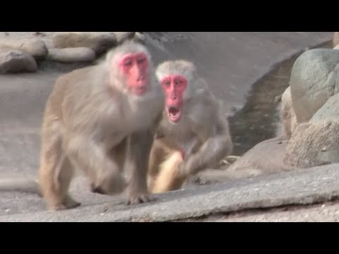 Angry Monkeys Fighting Get Angry Monkey Animal Video