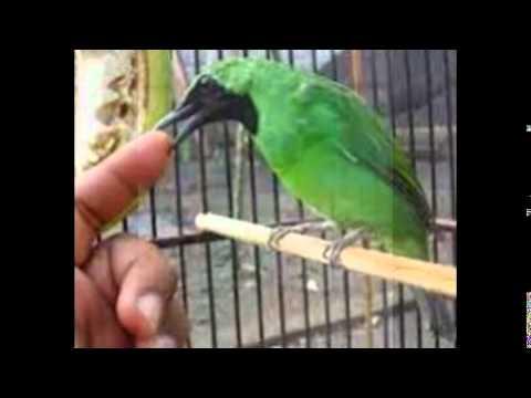 Perawatan Burung Cucak Ijo Biar Gacor video