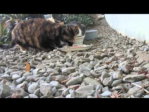 Feral cat feeding time  at Evergreen Valley College
