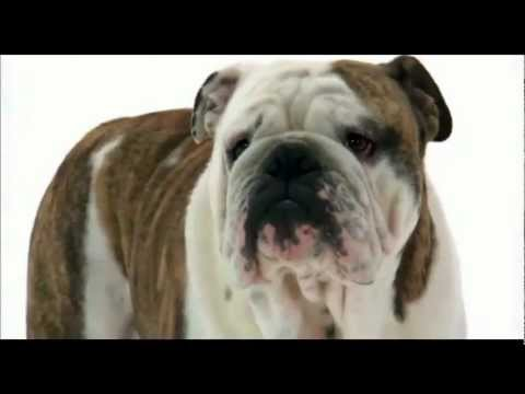 Αγγλικό Μπουλντόγκ - English Bulldog