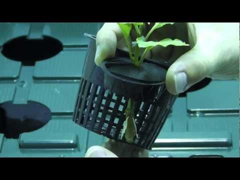 Transplanting Clones Into A Hydroponic Dwc  Pepper Bhut Jolokia