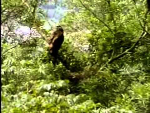 【陽明山國家公園管理處】草山鷹飛-大冠鷲幼鳥學飛過程