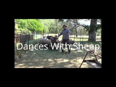 Popping While Feeding Sheep Part One.