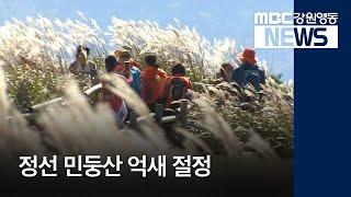 R]정선 민둥산 억새 절정, 축제도 한창
