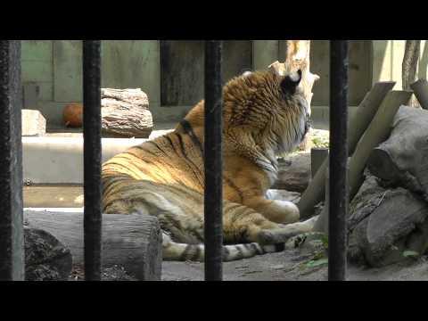 2011年5月26日 おびひろ動物園 木陰に隠れるタツオ