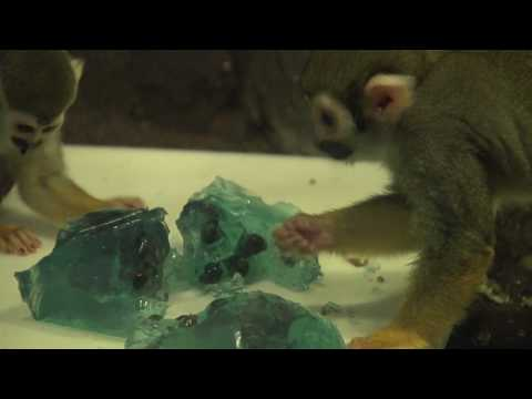 Jell-O Enrichment for Squirrel Monkeys at the Bronx Zoo Video