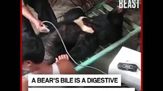 Vietnam Ends Cruel Farming of Bear Bile