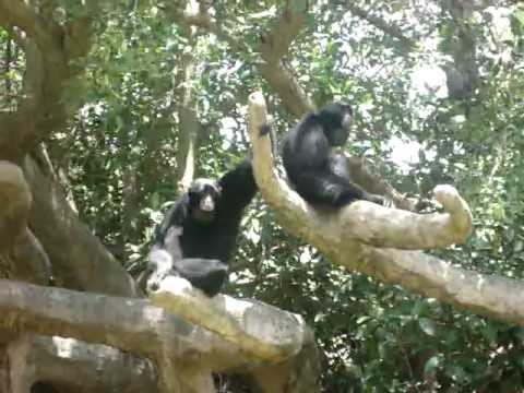 Monkey Making Noise Monkeys Miami Zoo Making Noise