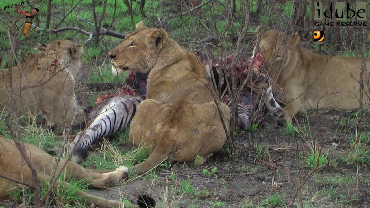 Tigers Eat Zebras Lions Eat Zebra