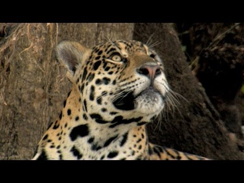 In Search of Jaguars, the Invisible Cats