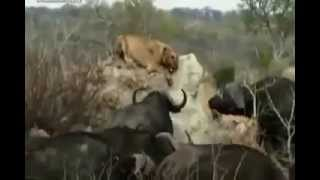 Bisons kill the Lion