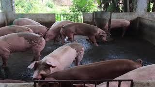 Dự báo giá heo hơi 18/9/2018:  Lạng Sơn có nguy cơ cao bị xâm nhiễm dịch tả lợn Châu Phi