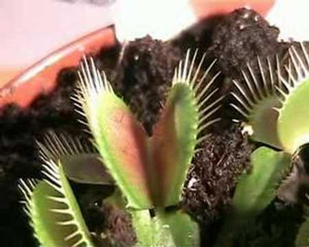 Venus flytrap eating a spider