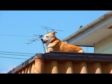 屋根の上がお気に入りの犬