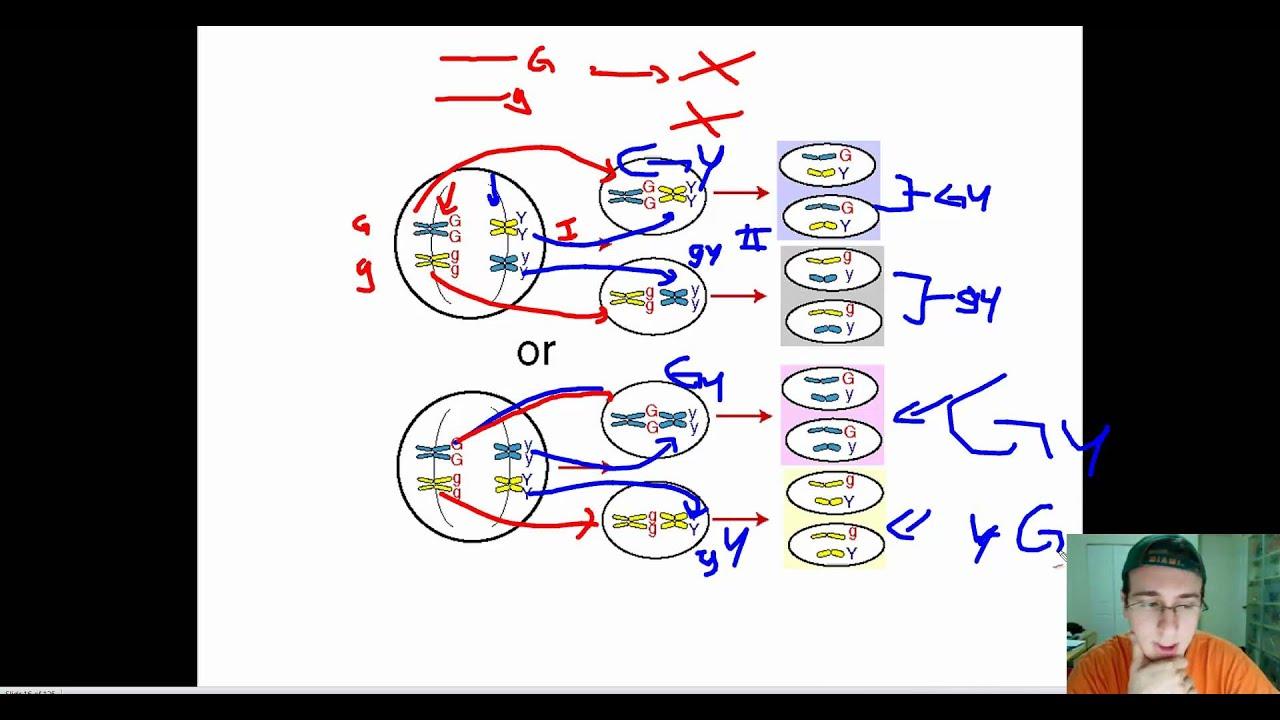 Dragon genetics independent assortment and gene linkage answers cs go steam key free chomikuj