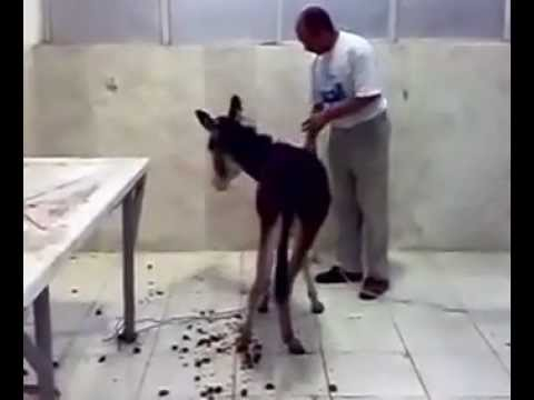 Young Donkey  Electrocuted To Death At Cairo Vet.university(egypt) video