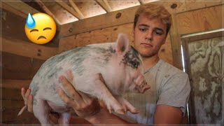 I had to get rid of My piglets...