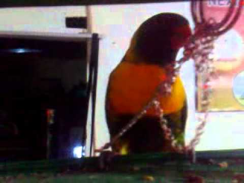 Burung Nuri Ajaib video
