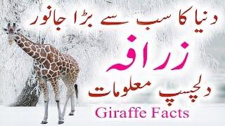 Zarafa Information In Urdu Hindi Giraffe Facts History Zarafa