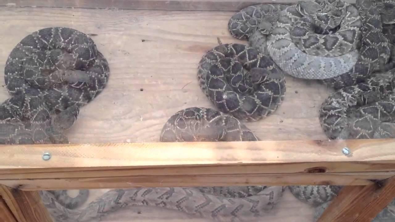 Rattlesnake Roundup Georgia Rattlesnake Roundup Whigham