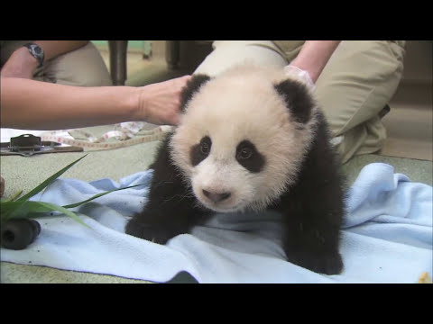 Adorable Panda Cub Xiao Liwu Falls Asleep During 16th Exam