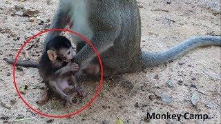 Pity Newborn baby monkey, Read ants bite newborn baby monkey, Monkey Camp part 2050