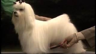 Maltese - AKC Dog Breed Series