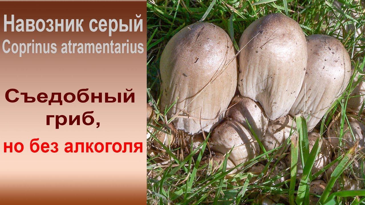 Как приготовить навозник гриб