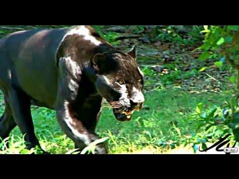 Büyük Kediler - Jaguar